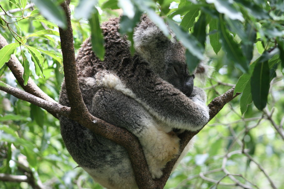 koala endormi Wallpaper - ForWallpaper.com