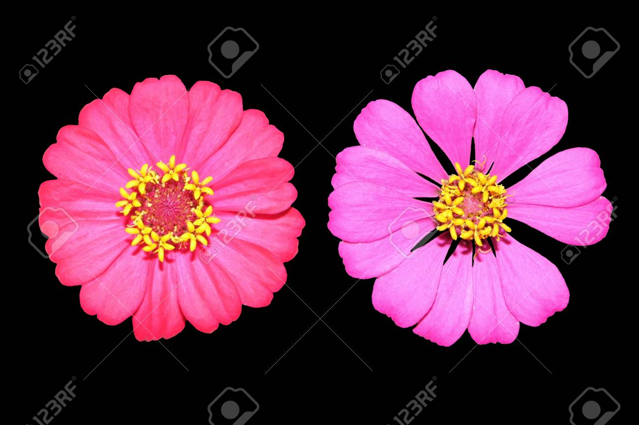 Pink Zinnia Flower On Black Background Stock Photo Picture And 1300x866