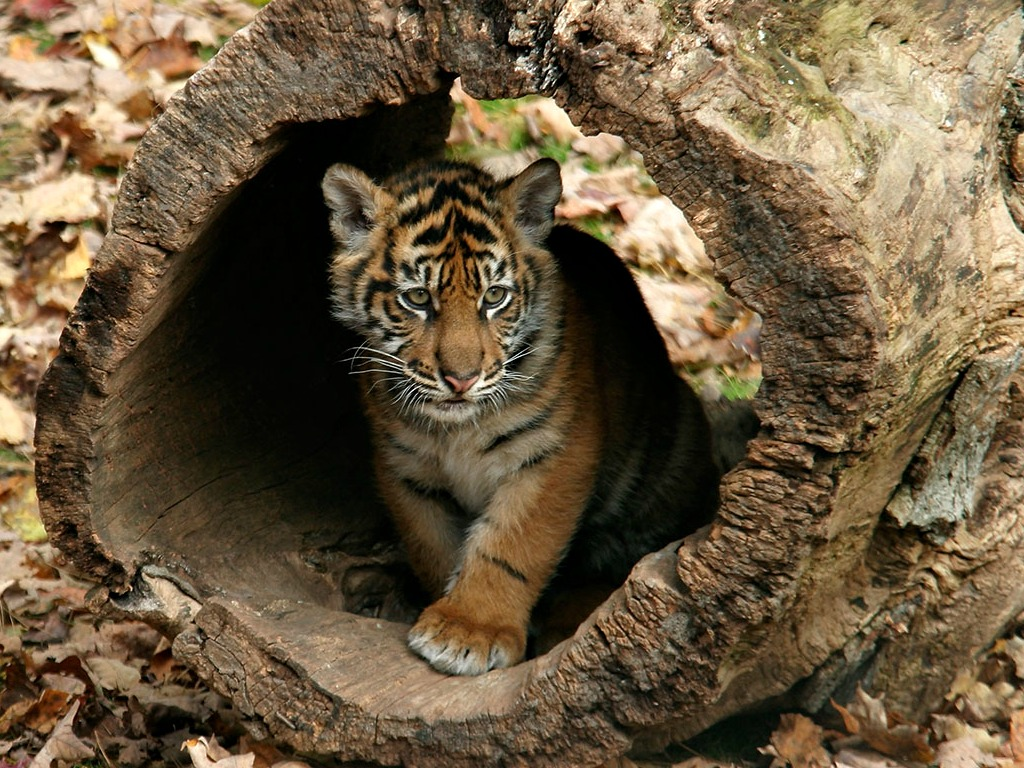 Little tigers images Little Tigers Wallpapers HD wallpaper 1024x768