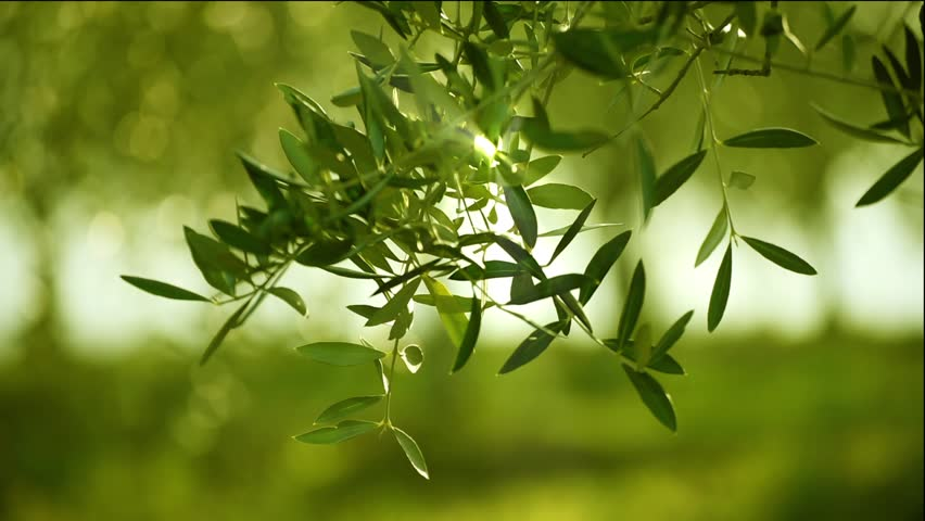 Olive Green Tree Leaves Growing In The Garden Natural 852x480
