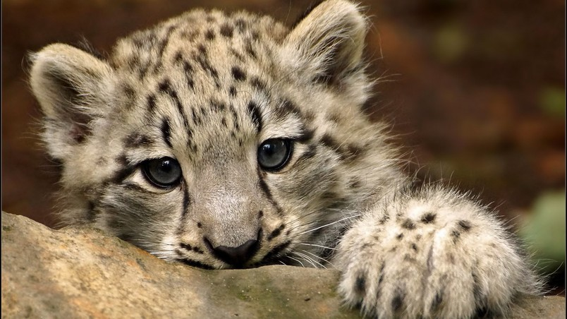 Free Download Cute Snow Leopard Hd Wallpaper Wallpaperfx