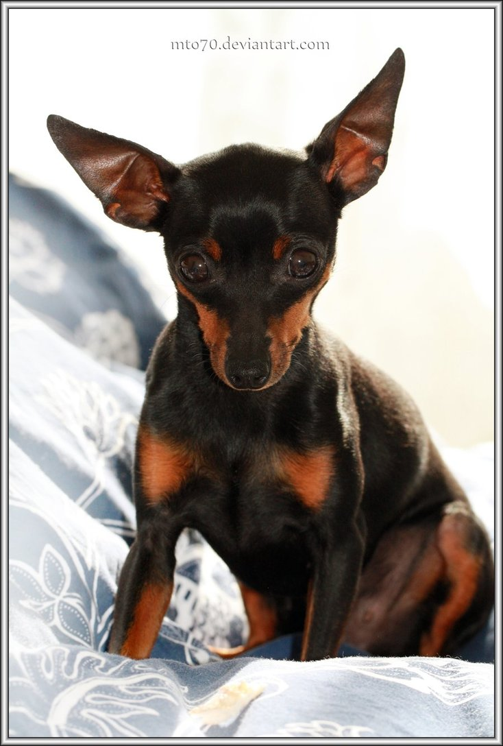 Miniature Pinscher Wallpaper images 734x1088