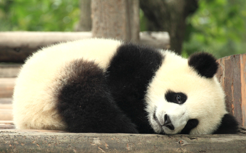 Baby pandas are beautiful Its a shame they are an endangered 965x602