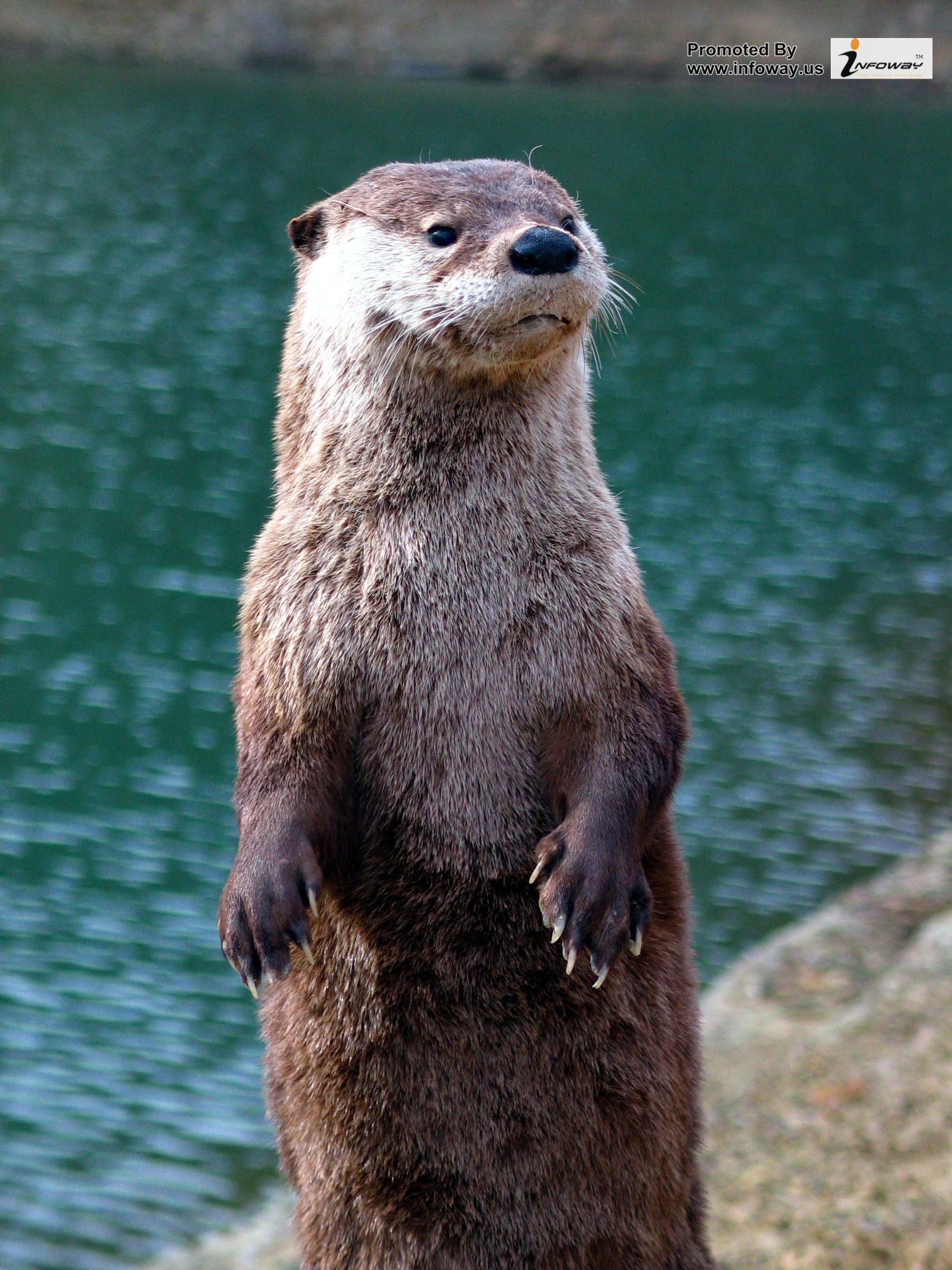 otter wallpaper 1704x2272