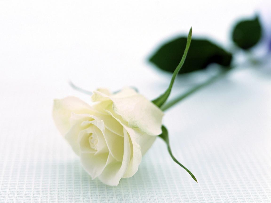 flowers for flower lovers White rose desktop hd wallpapers 1152x864