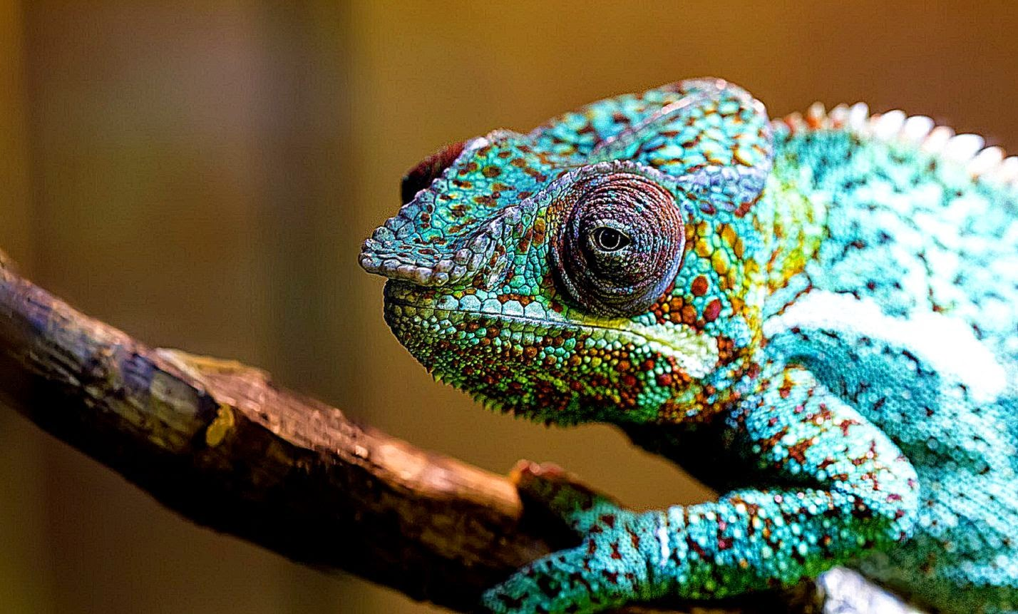 Free Download Chameleon Bokeh Hd Wallpaper Hd Wallpapers 1428x861 For Your Desktop Mobile Tablet Explore 44 Chameleon Wallpaper Hd Panther Chameleon Wallpaper Lizard Wallpapers Robot Hd Wallpaper