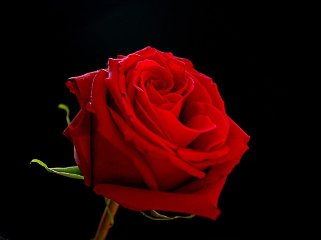 Red rose on black background cute wallpaper Black Background and 1024x768