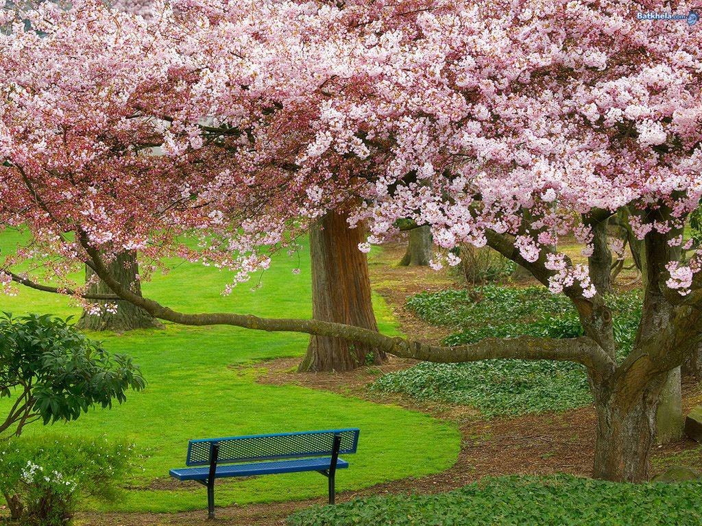 45 ] Wallpaper Japan Cherry Blossoms On WallpaperSafari