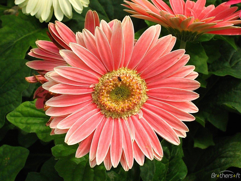 Free roses wallpaper screensavers wallpapersafari - Rose screensaver ...
