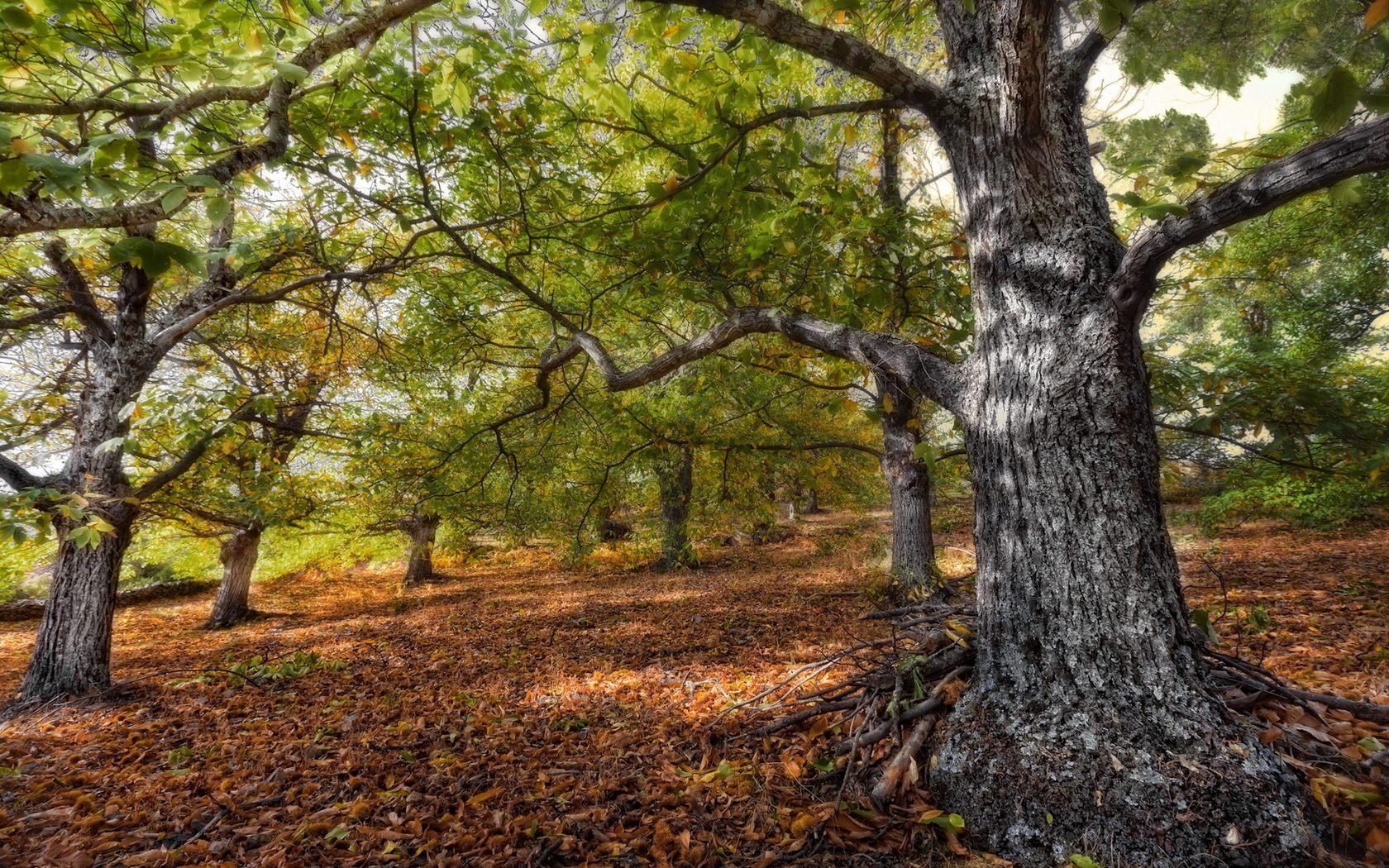 oak tree wallpaper green   HD Desktop Wallpapers 1680x1050