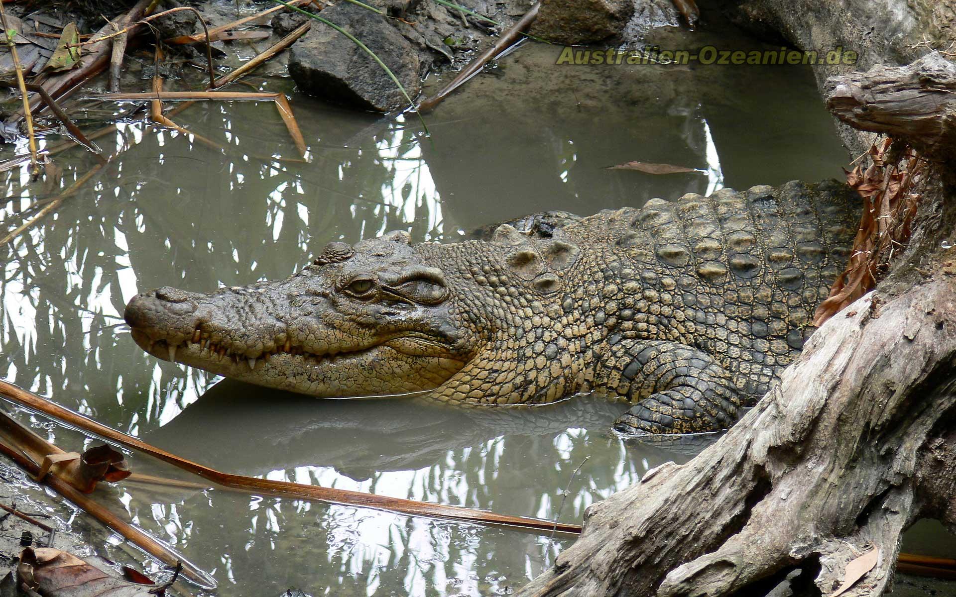 wallpaper crocodile animals australia 1920x1200 1920x1200