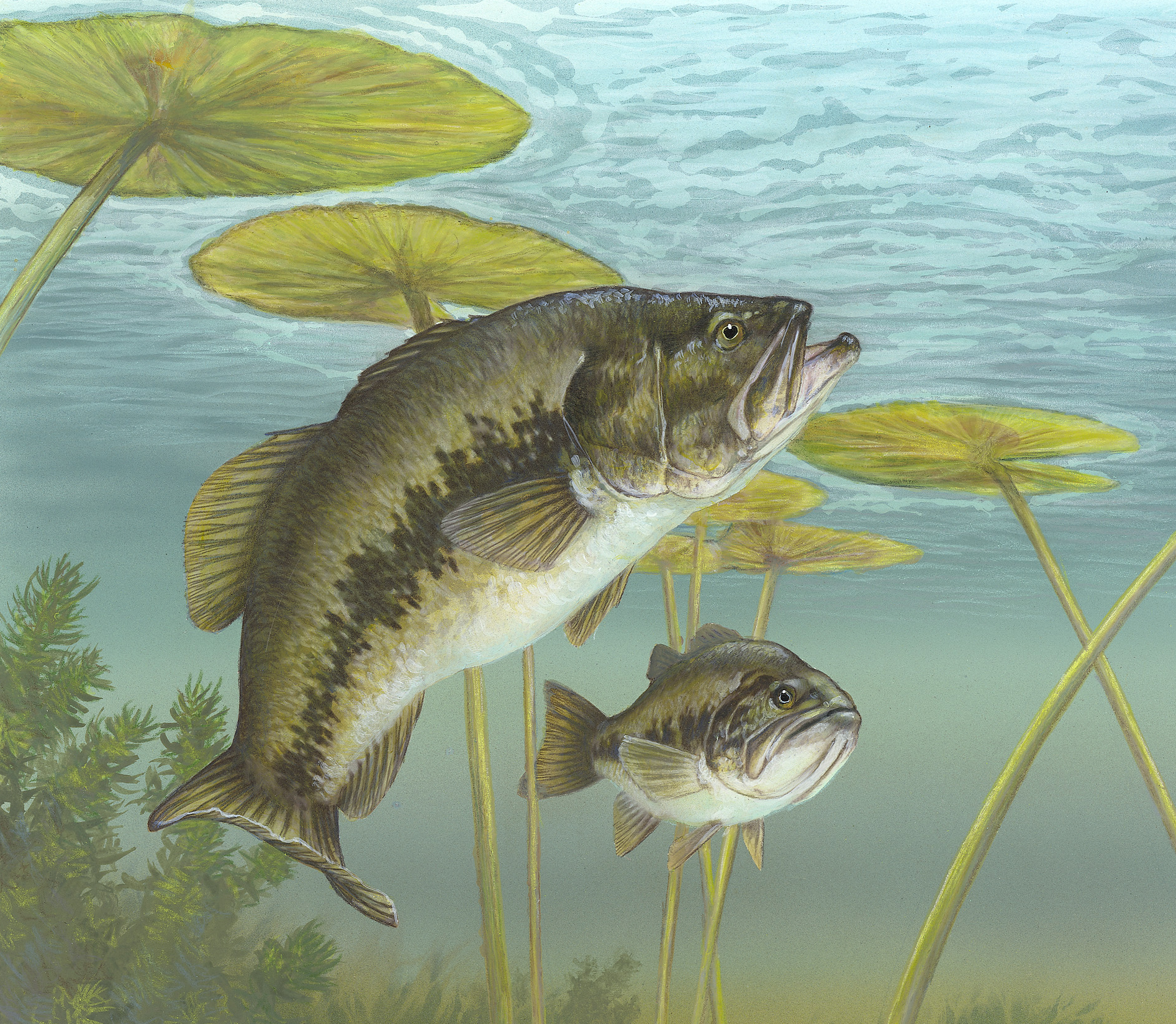 how to tell smallmouth bass from largemouth bass
