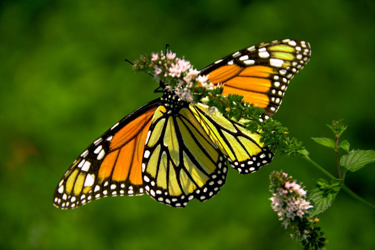 Monarch Butterfly 1 Hd Wallpaper Wallpaper 1200x800