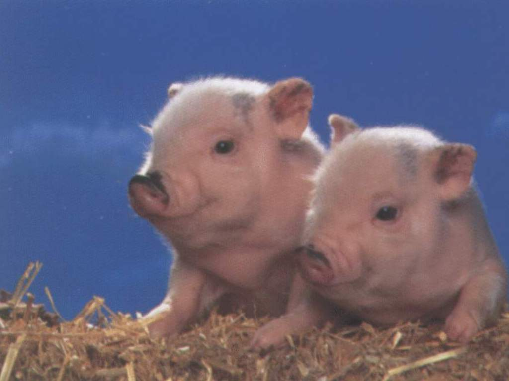 Funny Pig Wallpaper 16100 Hd Wallpapers in Animals   Imagescicom 1024x768