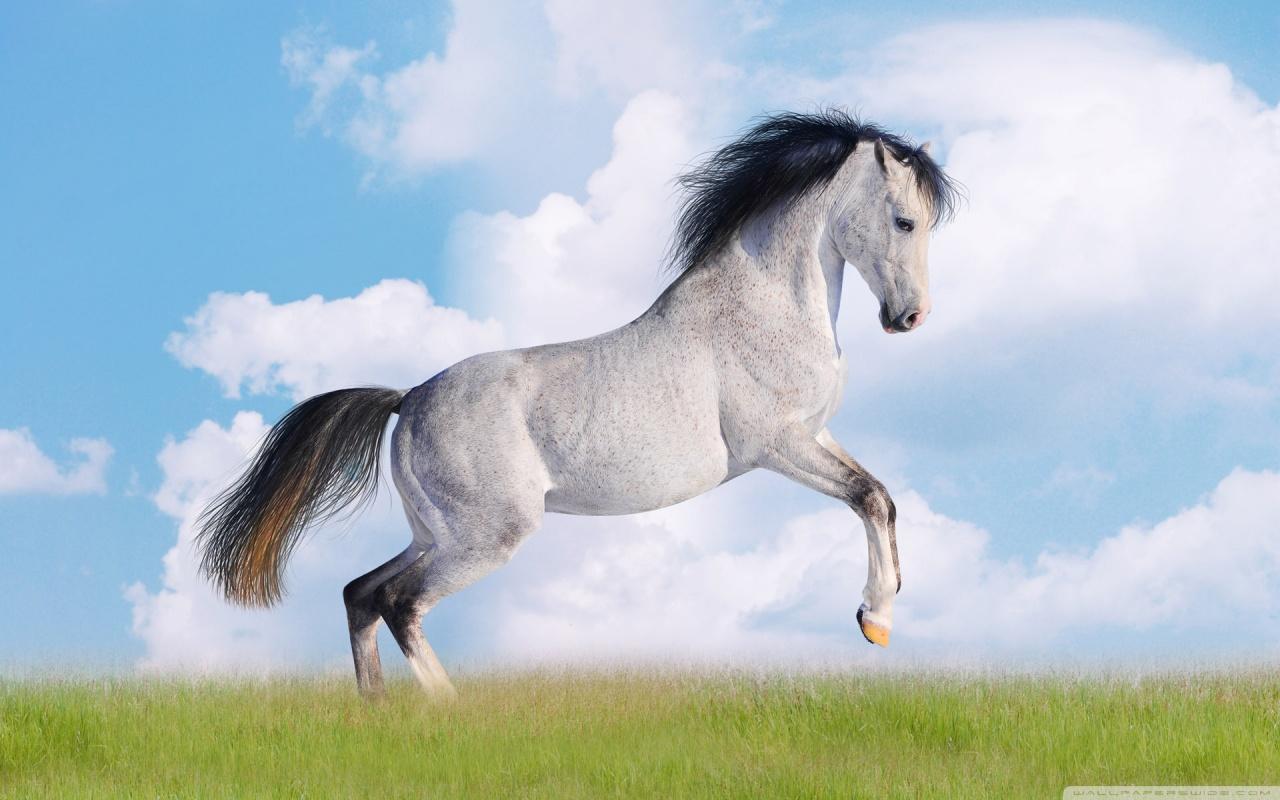 White Horse Photography Backdrop Snow White Horse Computer Wallpaper 1280x800
