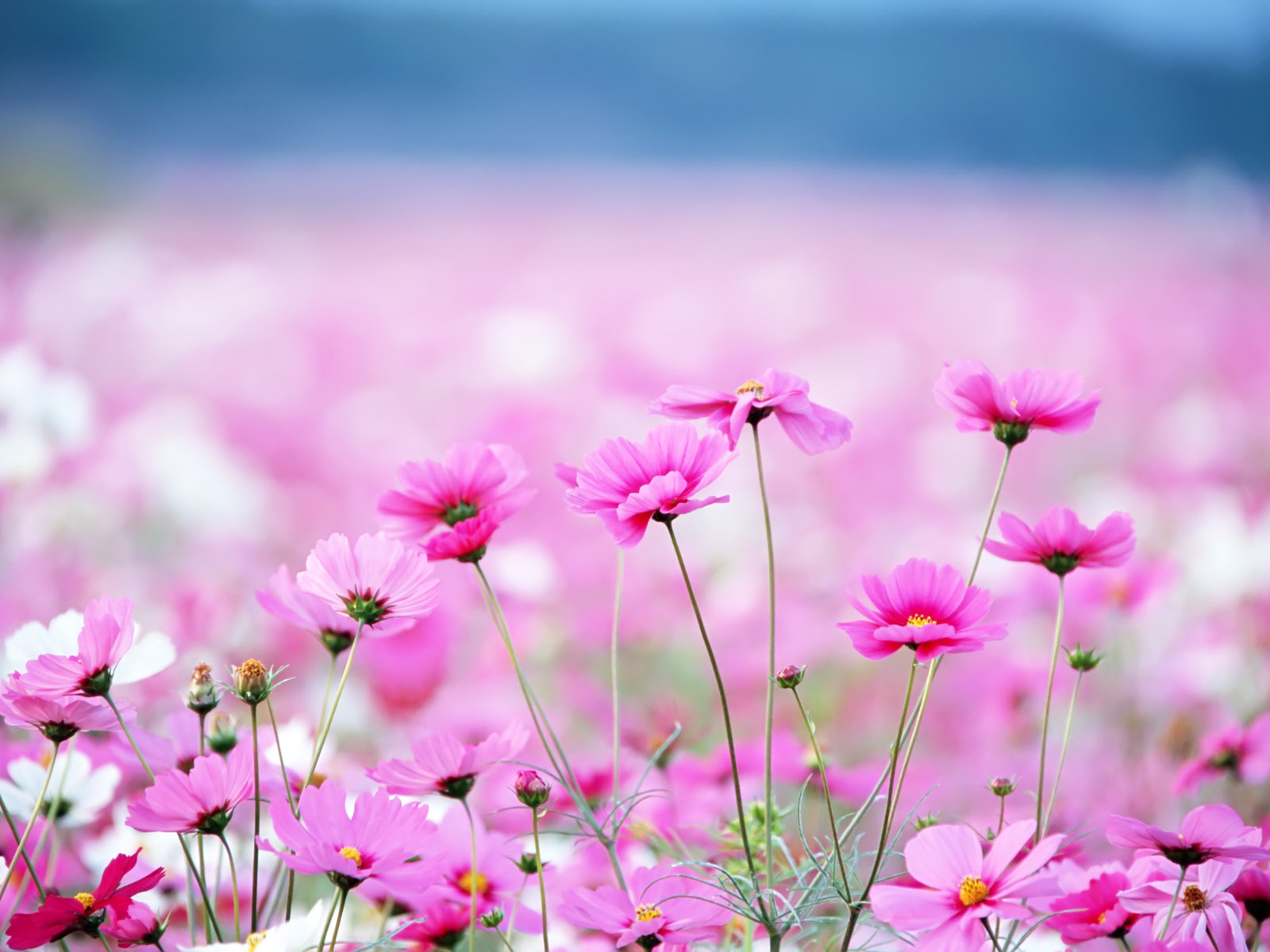 Spring Pink Flower   Wallpaper High Definition High Quality 1600x1200