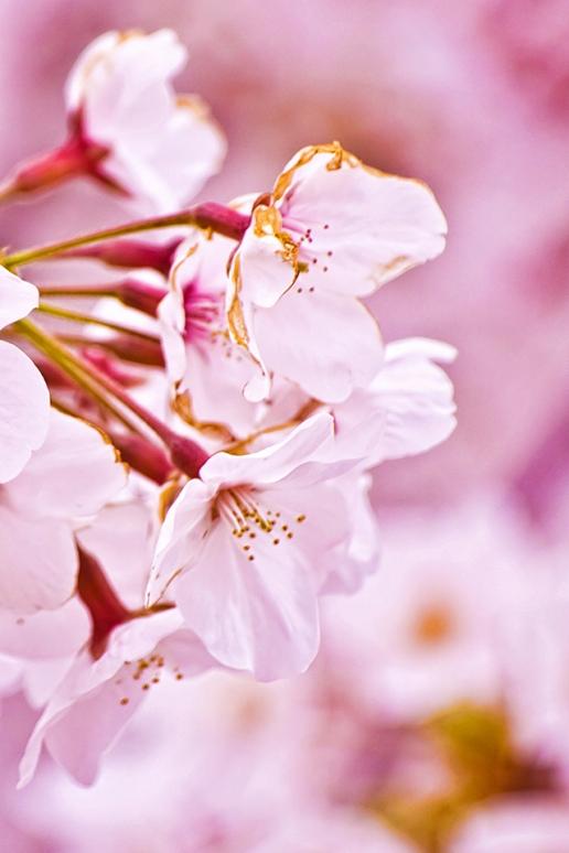 Cherry Blossom 516x774