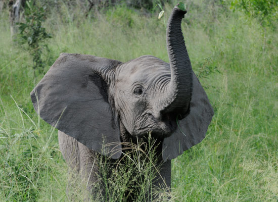 in field wallpaper baby elephant on grass picture baby elephant 550x400