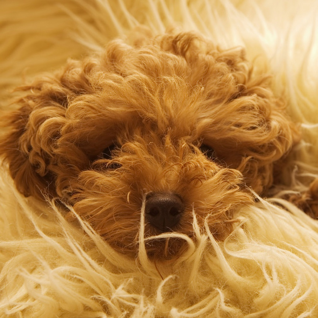 Toy Poodle iPad Wallpaper and iPad 2 Wallpaper GoiPadWallpapers 1024x1024