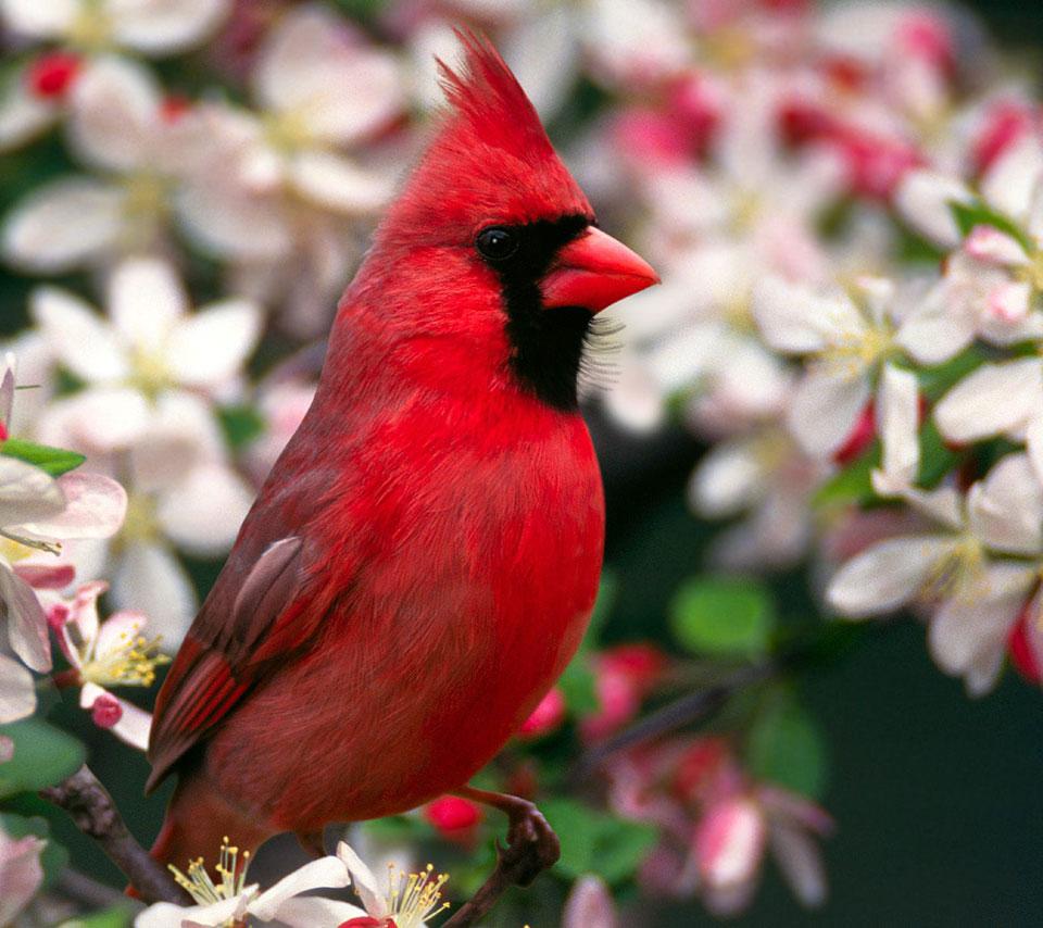 animalanimalsbirdbirdsred birdflowerflowersbranchcloseup 960x854
