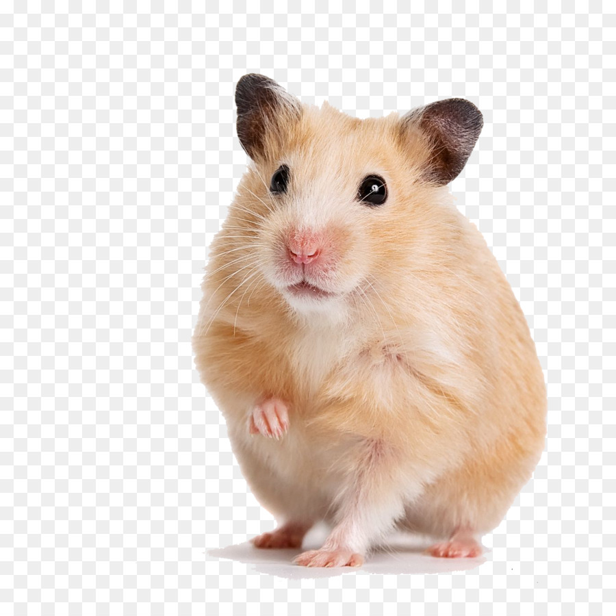 Hamster Background png download   13701370   Transparent 900x900