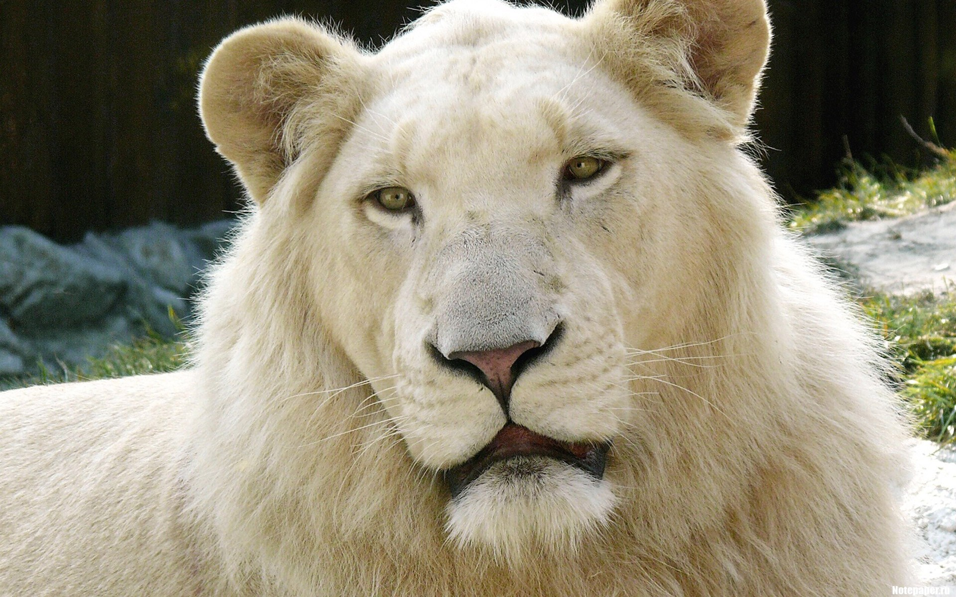 White Albino Lion   Wallpaper 30970 1920x1200