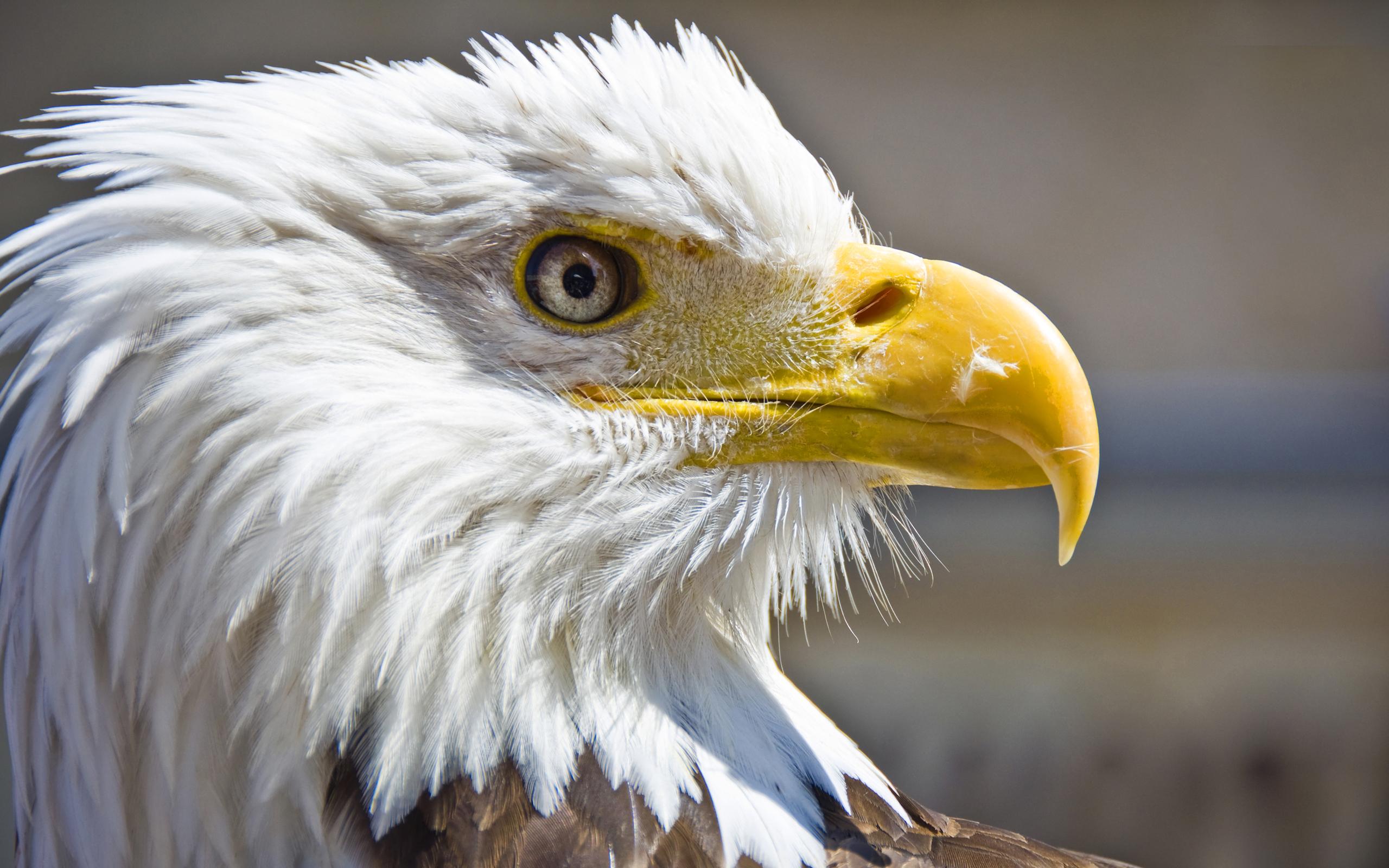 Bald Eagle Desktop Wallpaper - WallpaperSafari