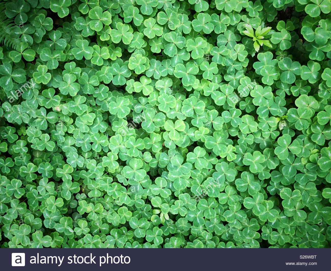 Background of oxalis or shamrock Irish luck charm leaves Stock 1300x1065