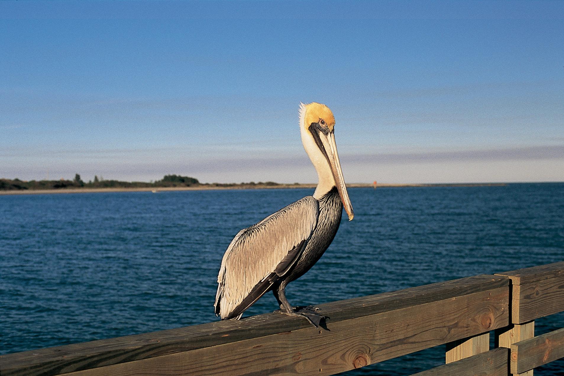 pelicans - HD1907×1272