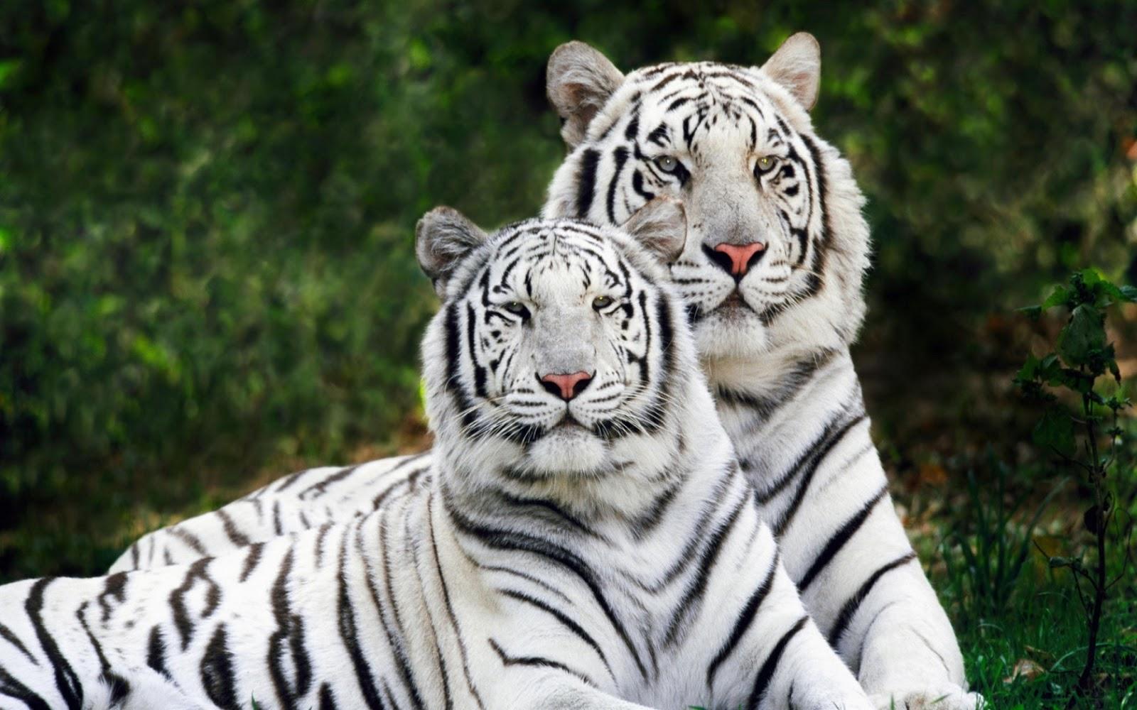 White Tigers HD Desktop Wallpaper HD Desktop Wallpapers 1600x1000
