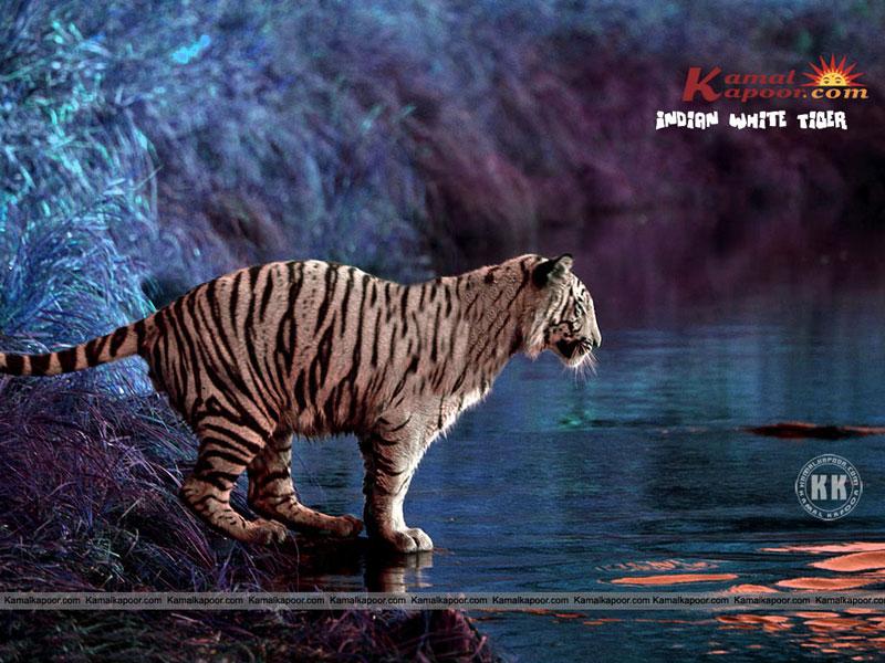 Indian Wallpaper Indian White Tiger Wallpaper Beautiful Indian 800x600