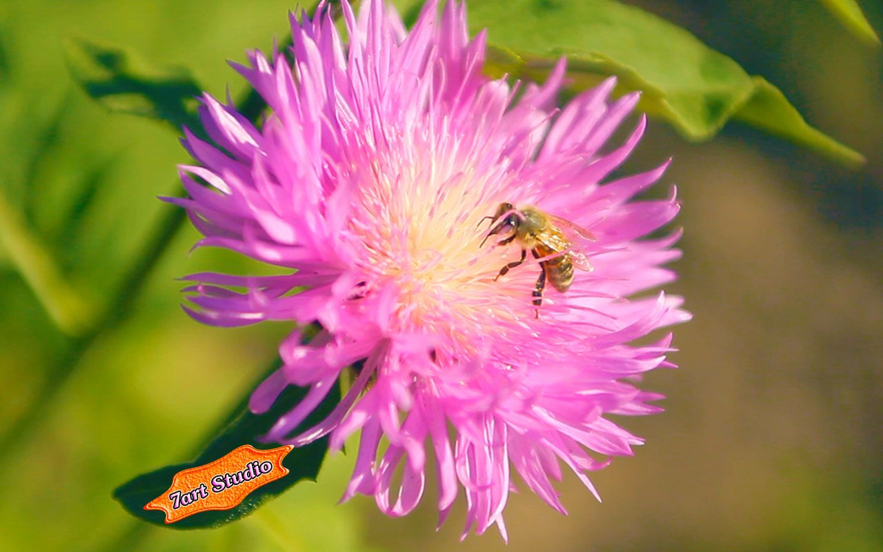 Summer Bee on Clover Flower screensaver animated desktop wallpaper 1280x800
