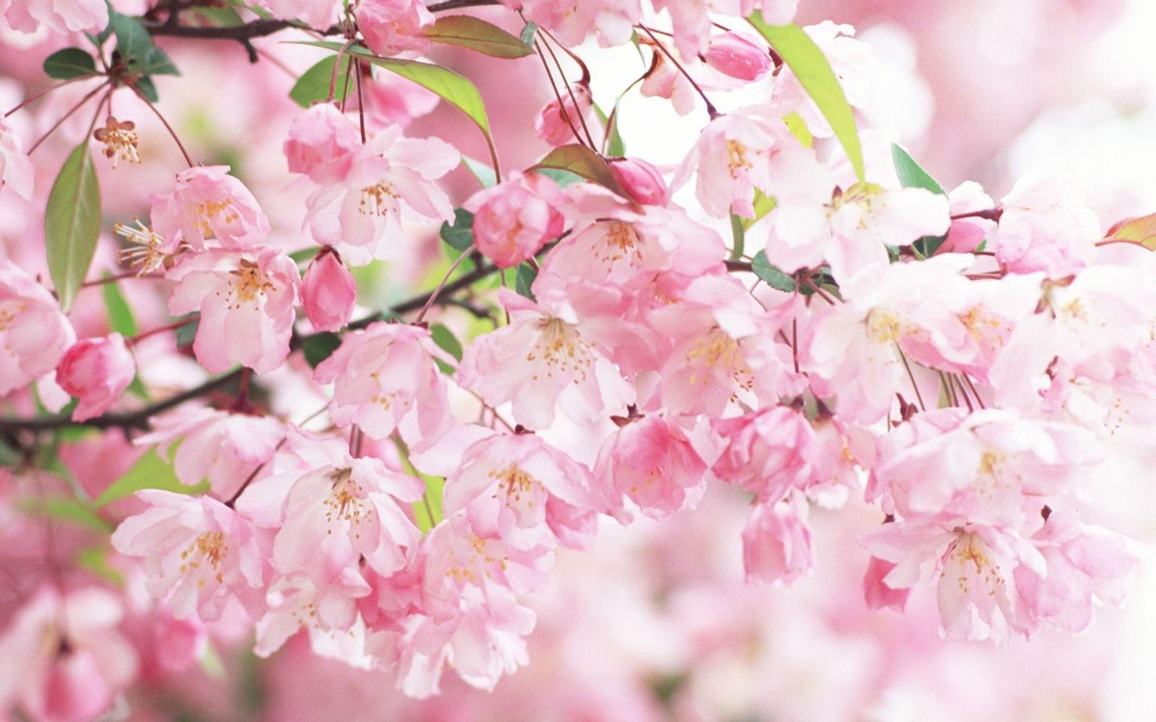 Download Cherry blossoms wallpaper 1680x1050