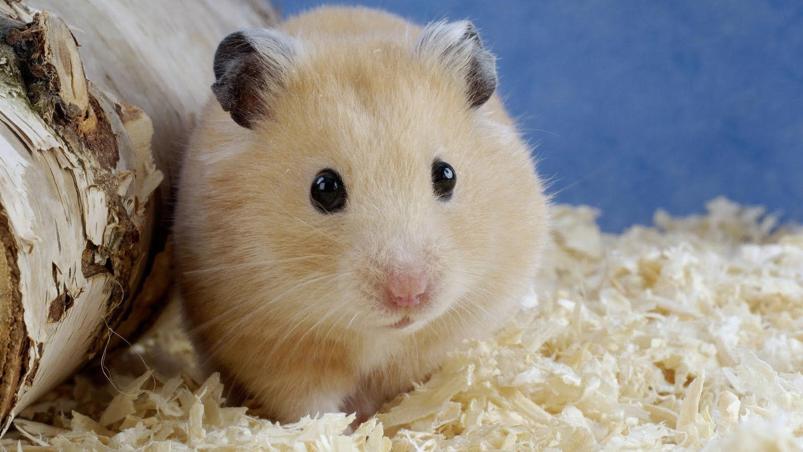 Hamster Background HD Photos HD Wallpapers 1600x900