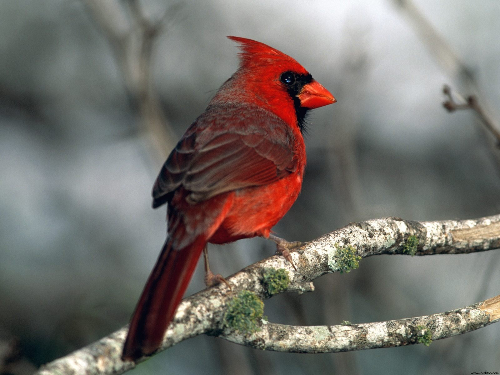 Cardinal Wallpapers HD Wallpapers 1600x1200