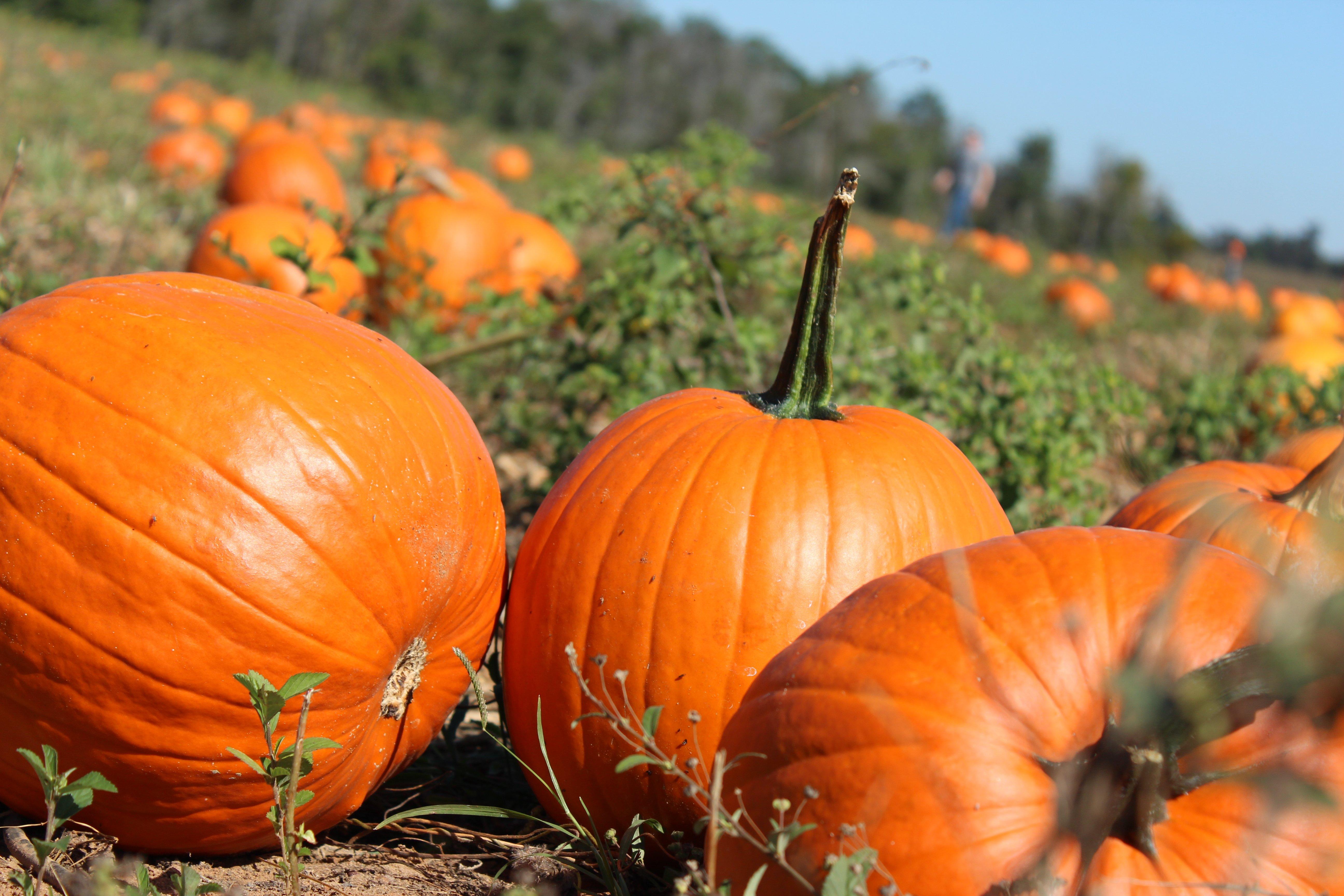 Pumpkin Wallpapers HD 5184x3456
