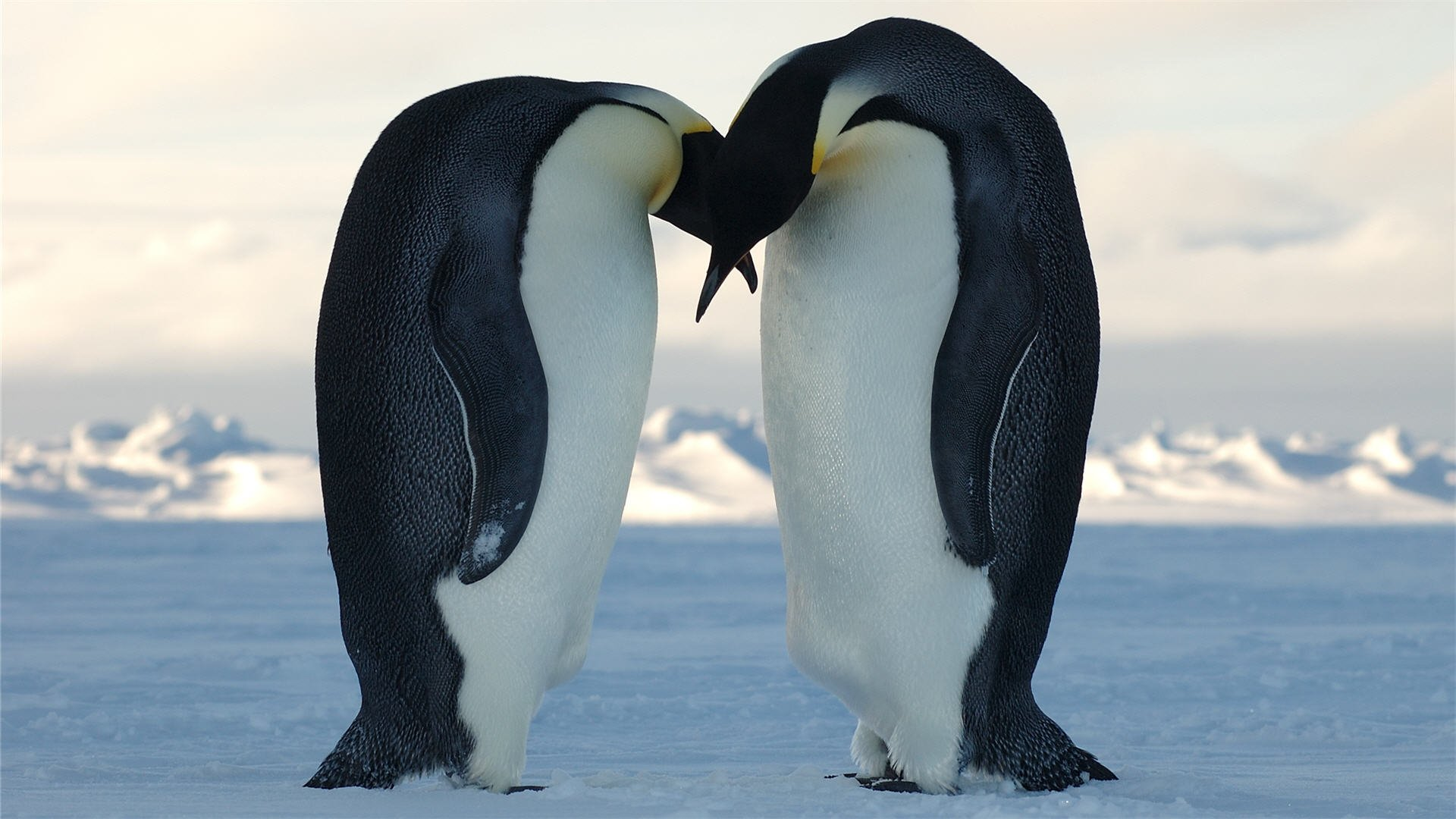 Download 1920x1080 HD Wallpaper penguin couple snow romantic 1920x1080