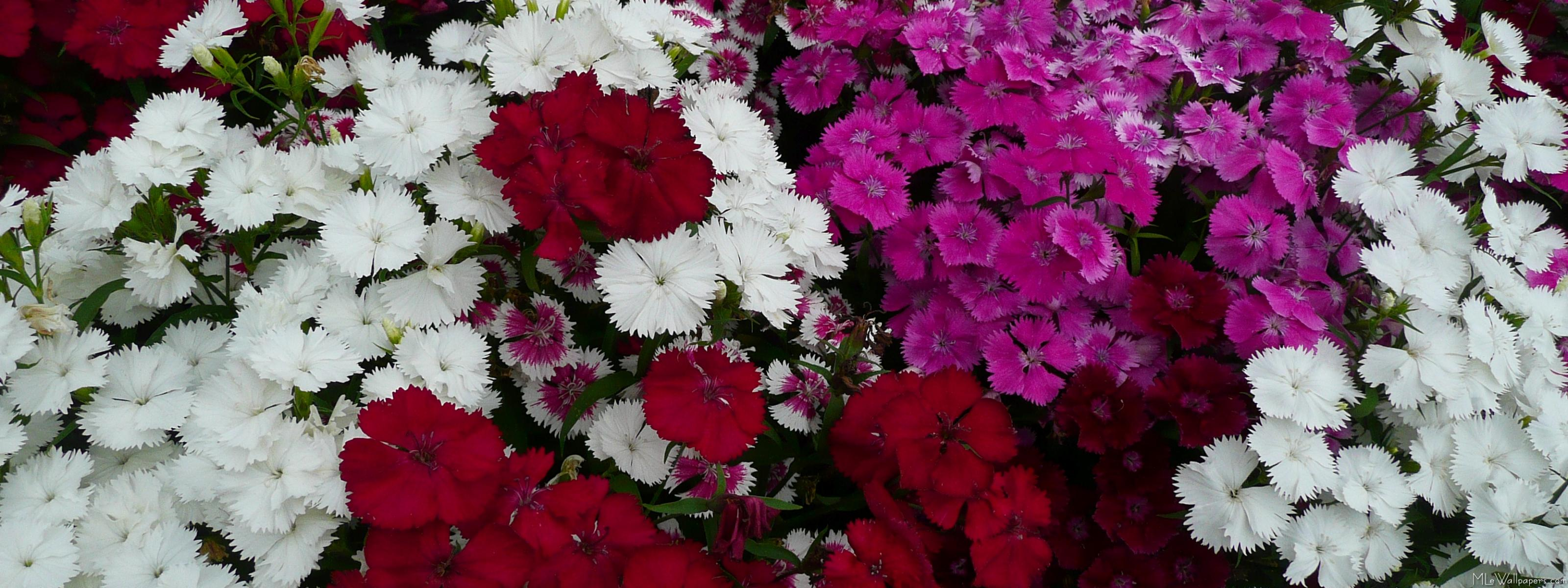 MLeWallpaperscom   White Pink and Red Dianthus 3200x1200