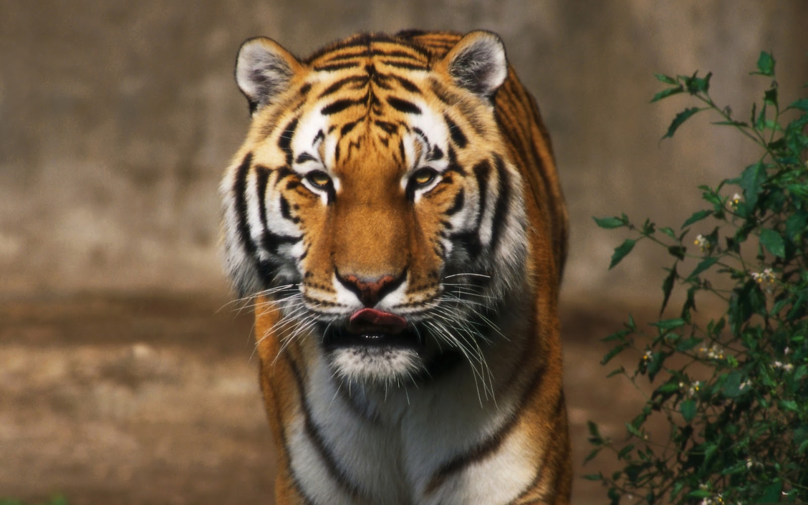 Wallpapers HD Tigers And Lions Wallpapers 1600x1000