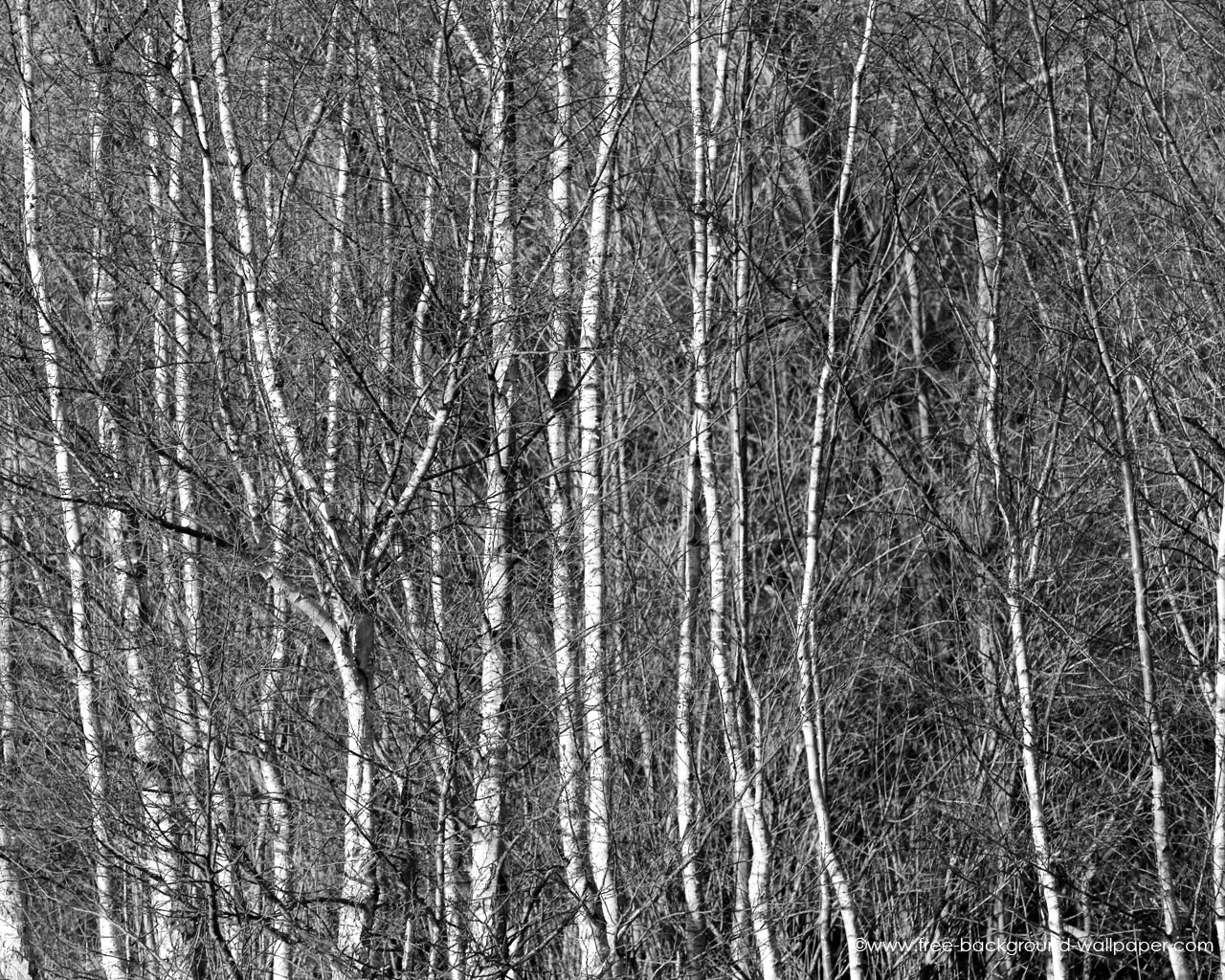 Silver Birch Woods   Black And White Background Wallpaper   1280x1024 1280x1024