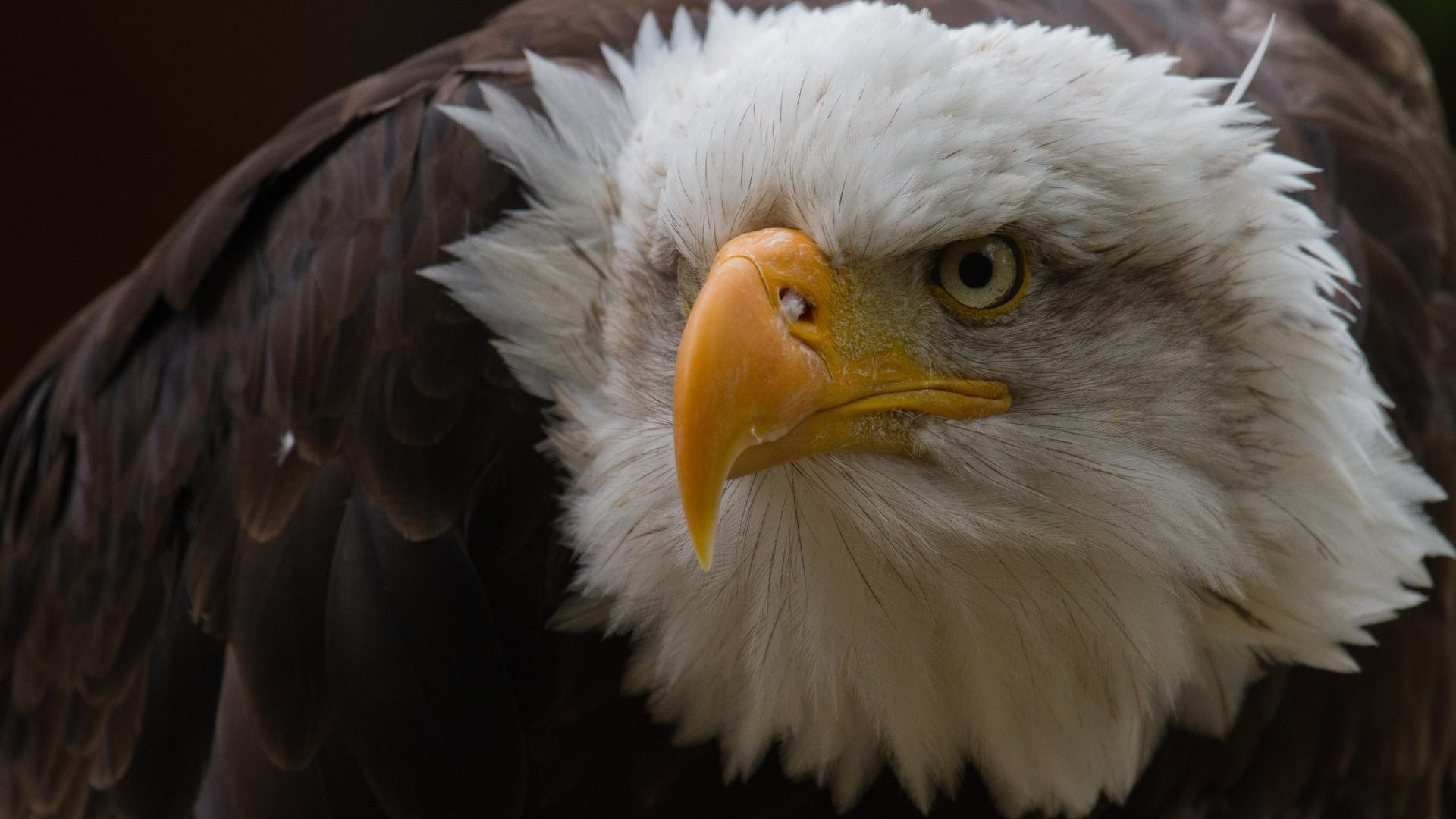 bald eagle and american flag images wallpaper 1920x1080