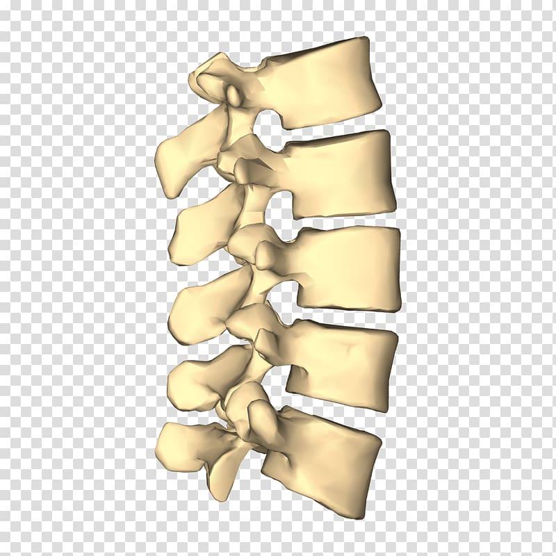 Lumbar vertebrae Vertebral column Cervical vertebrae Thoracic 800x800
