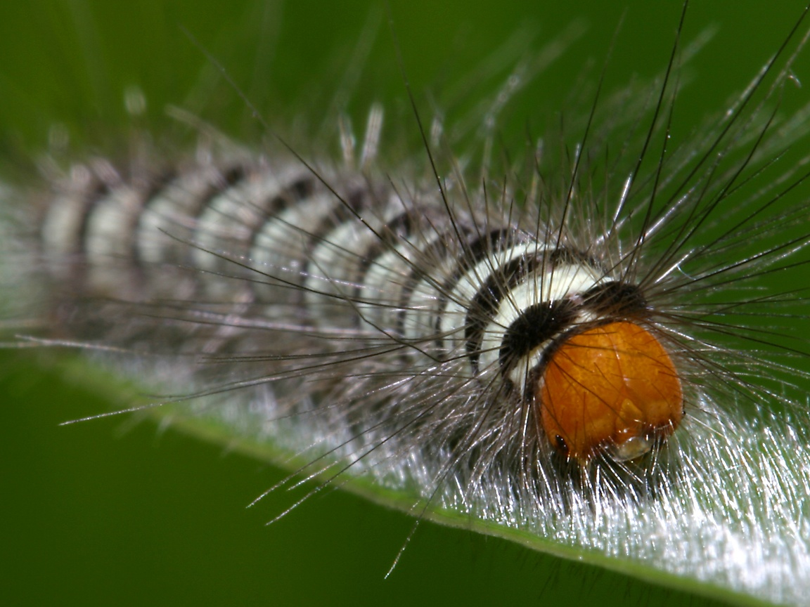 Caterpillar Wallpaper 1152x864