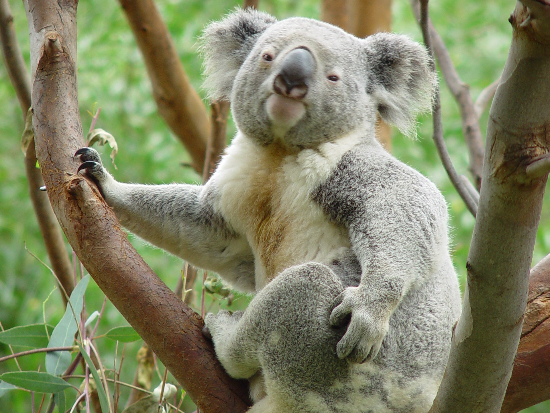 Koala - Desktop Wallpaper