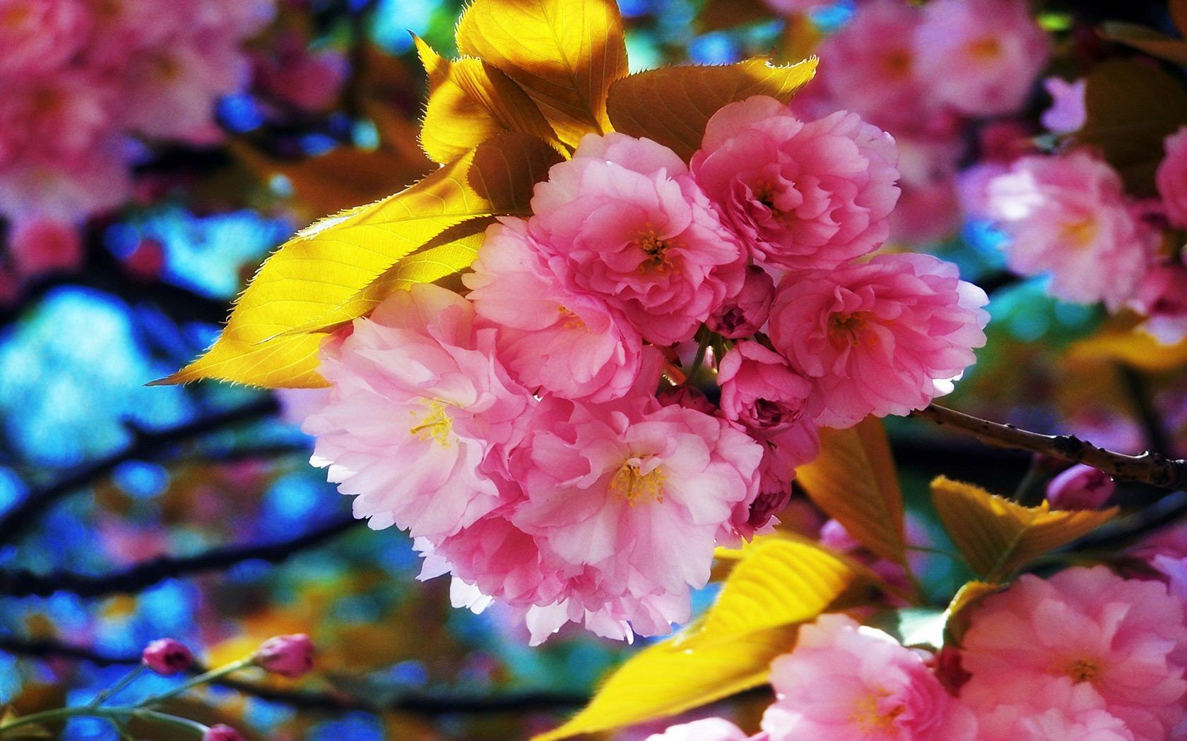 beautiful spring flowers desktop wallpaper 1680x1050