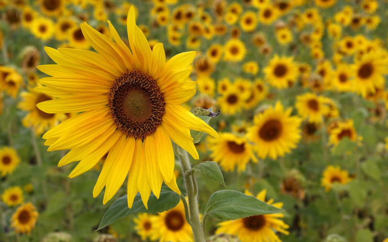 1280x800px wallpaper sunflowers - wallpapersafari