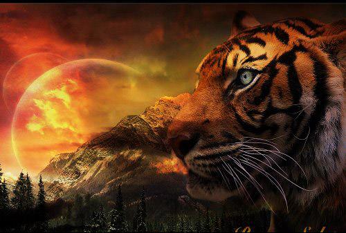 tiger wallpaper 500x337