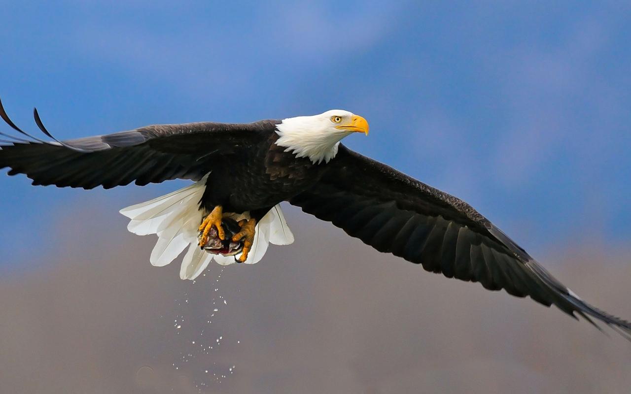 American Bald Eagle Flying HD Desktop Wallpaper Background download 1280x800