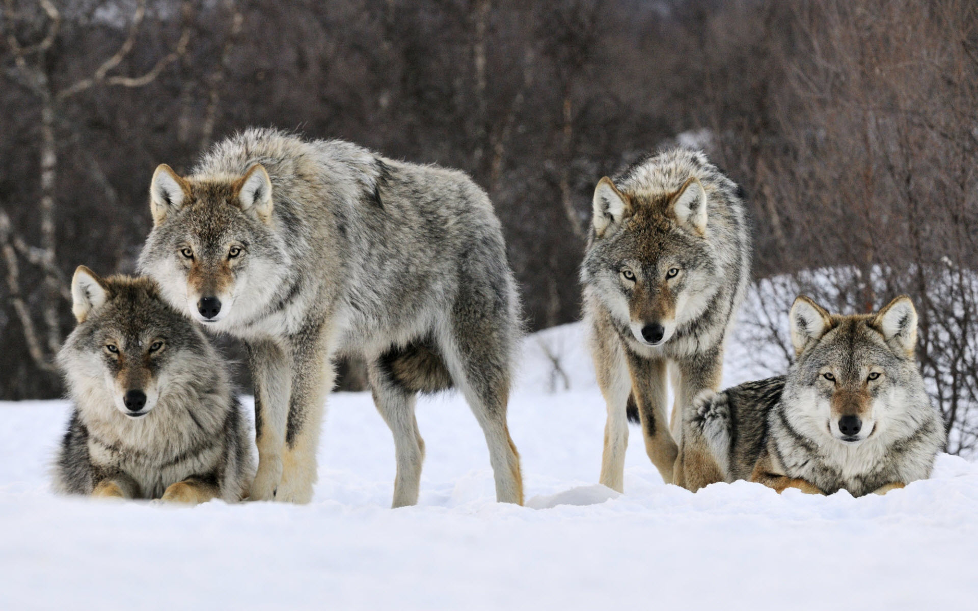 Gray Wolves Norway Wallpapers HD Wallpapers 1920x1200