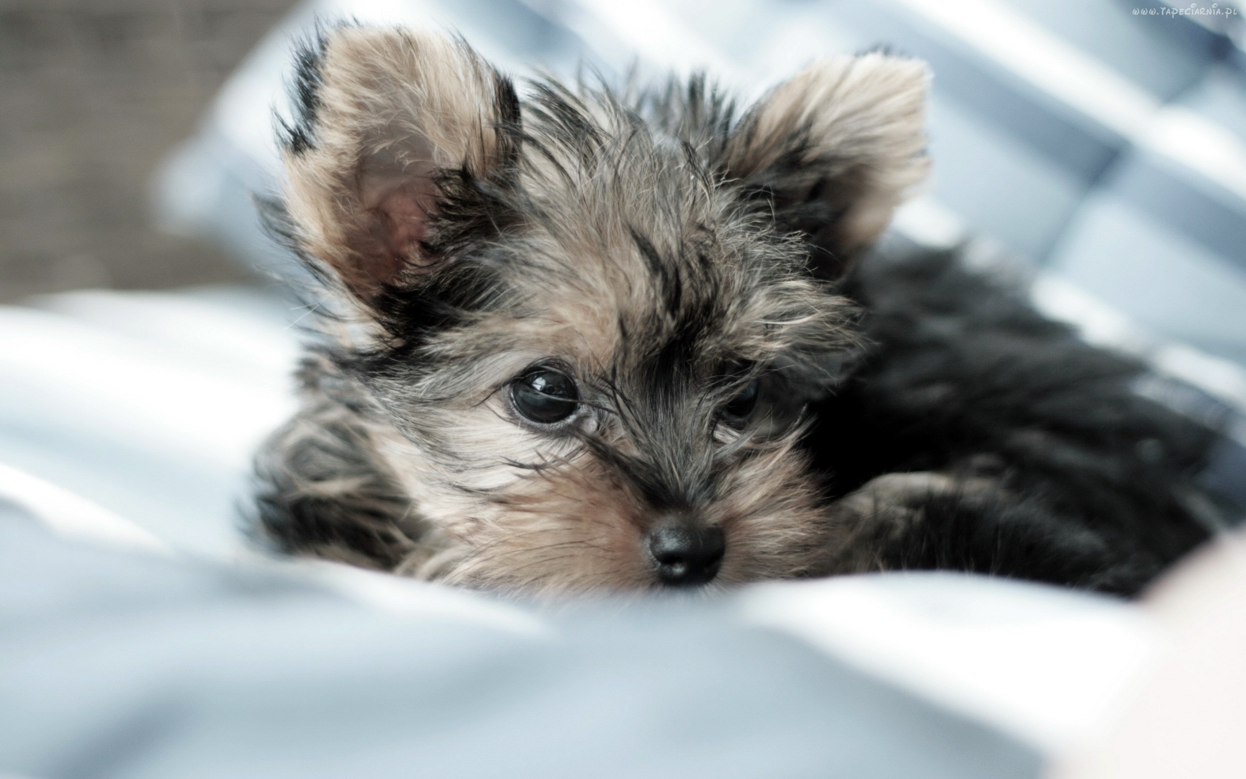 Wallpaper Yorkie Puppies 2560x1600